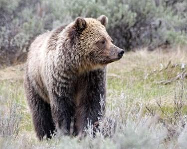 Bears! Coming To Your Neighborhood!